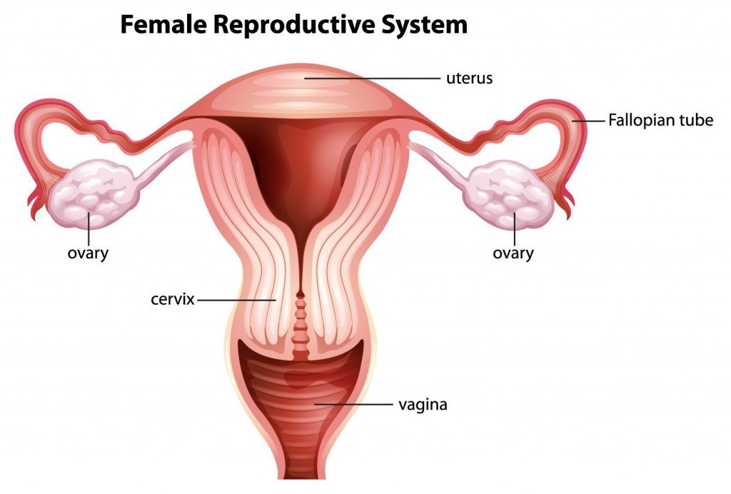 A Female Reproductive System