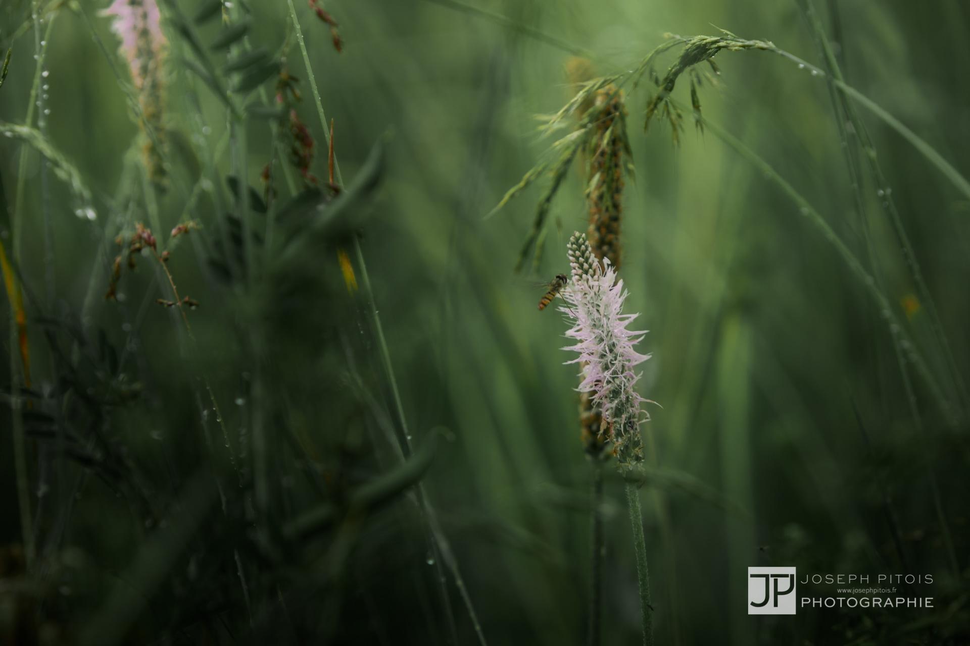 gramines-nature-hombourg-IMG_0811