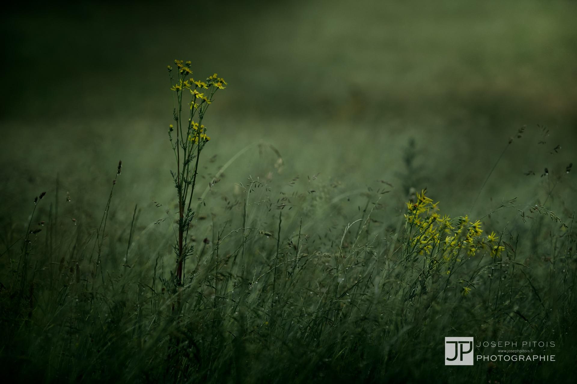 gramines-nature-hombourg-IMG_0819