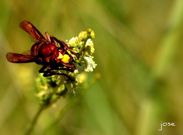 A bee having a snack near Hatta