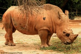 The Bull Rhino