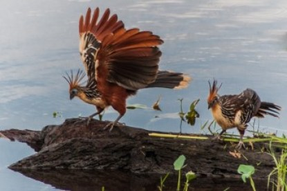 Amazon hoatzin bird.