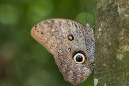 Ecuador - Amazon Owl Butterfly.