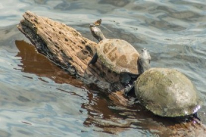 Equador - Anangucocha Lake turtles.