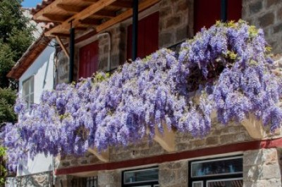 Greece. Pindus, Lidoriki wisteria.
