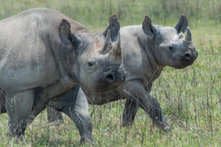 A pair of rhinos march off to a water hole.