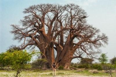 Botswana - Kalahari Baobab