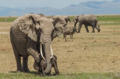 Kenya - Amboselli Elephants.