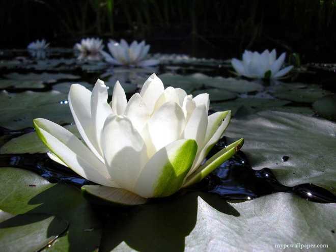 white_lotus_flower