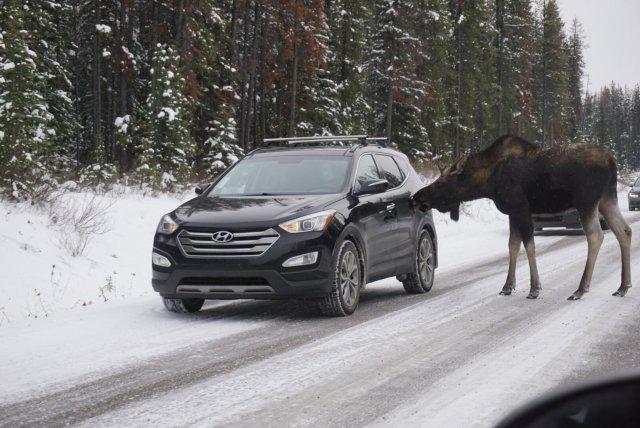 Moose licking 2020