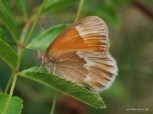 Photo of Common Ringlet