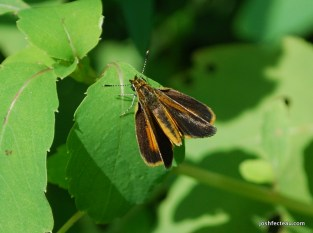 Photo of Least Skipper