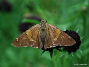 Photo of Silver-spotted Skipper