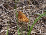 Photo of Variegated Fritillary