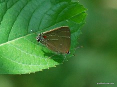 Photo of White M Hairstreak