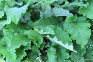 Photo of Common Burdock patch