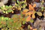 Photo of Japanese Barberry fall leaves