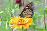 Photo of Monarch male