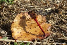 Photo of Autumn Meadowhawk back