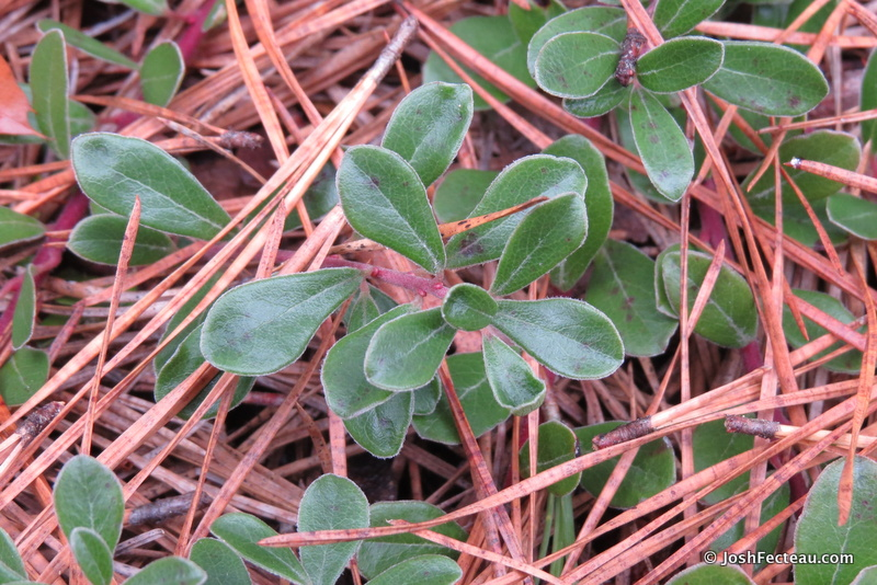 Subshrub ID: Red Bearberry | Josh Fecteau