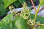 Photo of Poison-ivy flowers