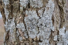 Photo of Black Locust bark