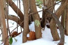 Photo of Highbush Blueberry bark