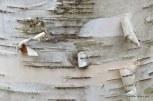 Photo of Paper Birch bark
