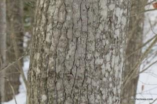 Big-toothed Poplar bark