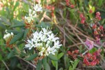 Photo of Labrador Tea