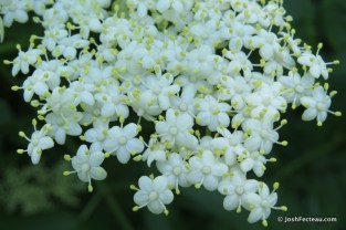 Photo of Black Elderberry flowers