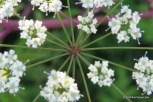 Photo of Spotted Water-hemlock umbel detail