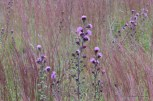 Photo of Field of Northern Blazing Star