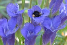 Photo of Greater Fringed-gentian pollinator