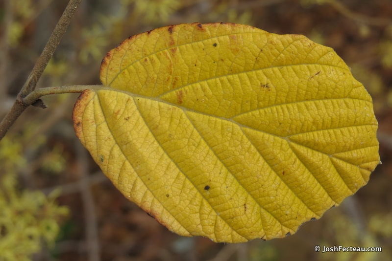 Fall Shrub ID: American Witch-hazel | JOSH FECTEAU