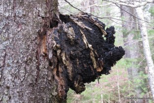 Photo of Chaga sclerotium