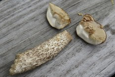 Photo of Leccinum scabrum (Birch Scaber Stalk)