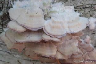 Photo of Trichaptum biforme (Violet-toothed Polypore)