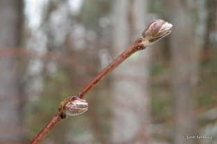 Photo of Beaked Hazelnut buds