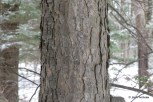 Photo of Eastern Hemlock (Tsuga canadenis)