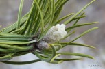 Photo of Jack Pine resinous buds