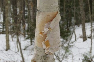 Photo of Paper Birch (Betula papyrifera)