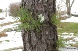 Photo of Pitch Pine (Pinus rigida)
