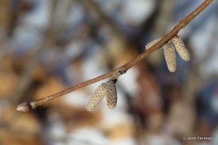 Photo of Beaked Hazelnut (Corylus cornuta)