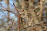 Photo of Gray Dogwood (Swida racemosa)