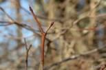 Photo of Gray Dogwood (Swida racemosa)