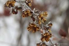 Photo of Leatherleaf (Chamaedaphne calyculata)