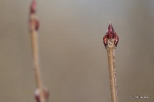 Photo of Smooth Arrowwood (Viburnum dentatum)