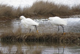 Photo of Snowy Egrets