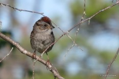 Photo of Swamp Sparrow (June)